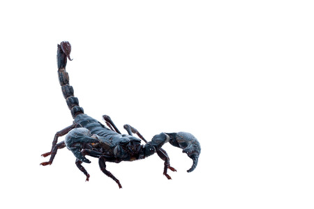 scorpion isolated