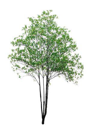 tree isolated on white background. 免版税图像