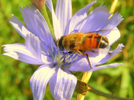 Wild bee and flower photo