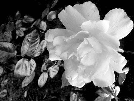 contrastive: dark white rose