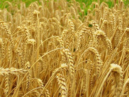 cereal field Stock Photo - 5902260