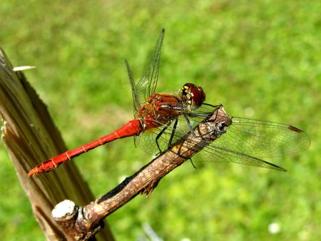 contrastive: dragonfly