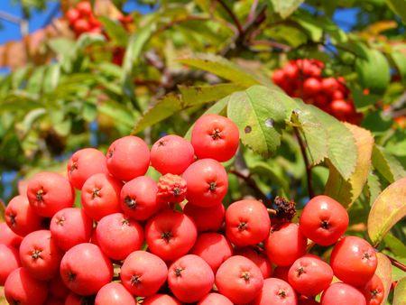 contrastive: rowan tree and berry