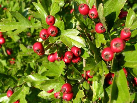 hawthorn berry Stock Photo - 7919702