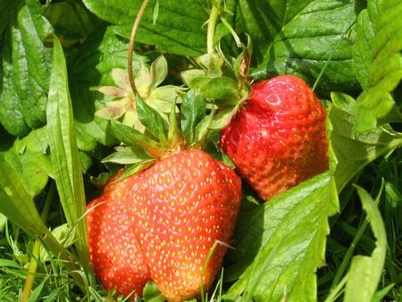 contrastive: strawberries in the garden