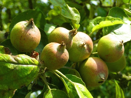 contrastive: apples on the tree