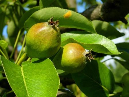contrastive: pears on the tree Stock Photo