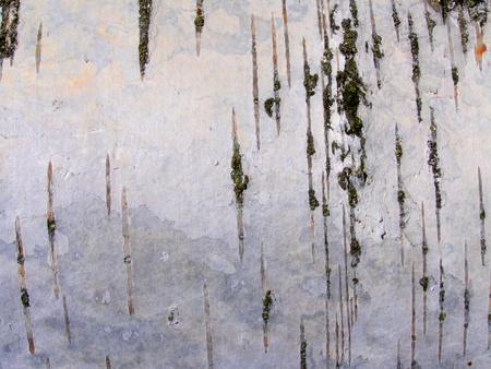 birch bark: birch bark texture