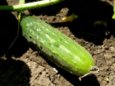 contrastive: cucumber in the garden