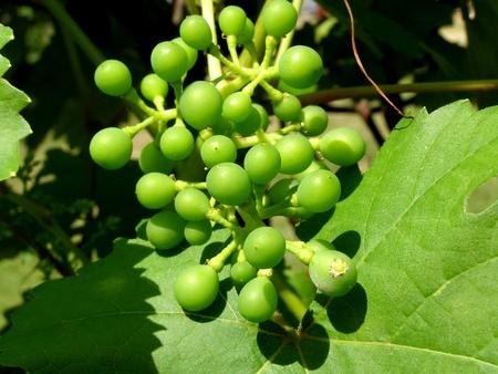 contrastive: small grapevine Stock Photo