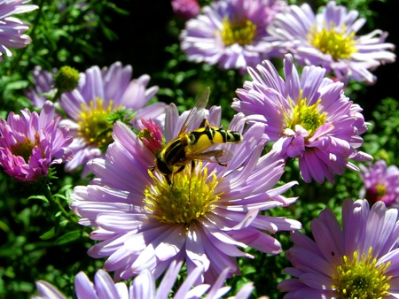 contrastive: chrysanthemum flowers and wasp