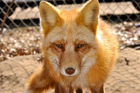orange fox close up