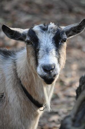 goat headshot