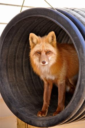 red fox in tire swing Stock fotó