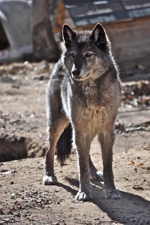 회색 늑대 스톡 콘텐츠