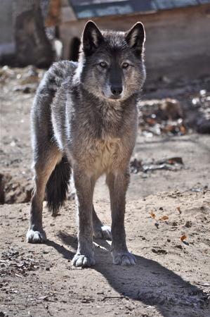 Loup gris regardant la caméra Banque d'images - 73971116