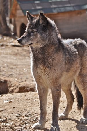grey wolf profile Stock fotó