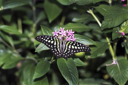 green jay: Jay mariposa de cola  Foto de archivo