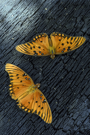 the gulf: Gulf Fritillary Butterflies