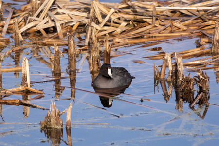 coot: American Coot