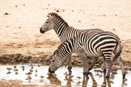 migrated: Zebra at the pool