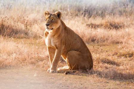 lioness: Lioness Stock Photo