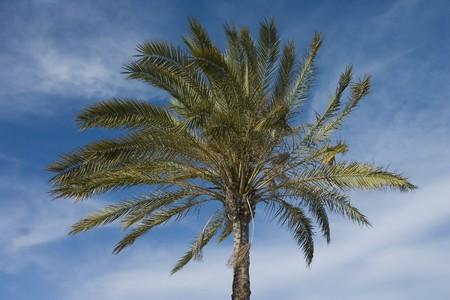 The Palmtree - Palm -