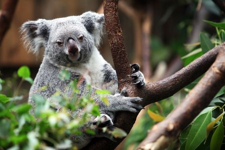 Koala bear is looking directly and frontal into the cam. Stock Photo