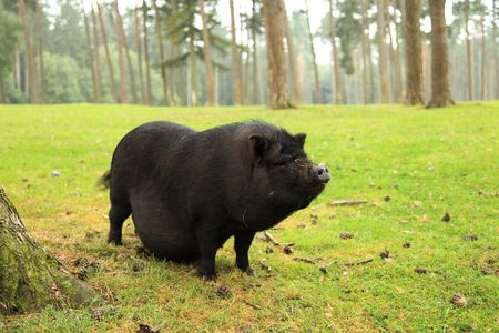 potbellied: pot-bellied pig