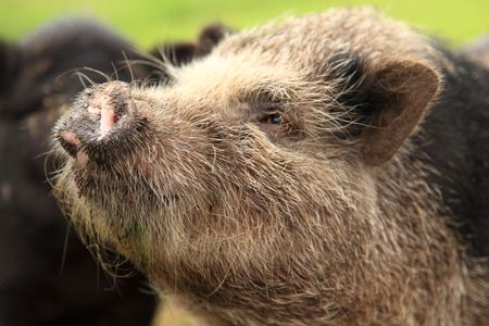 potbellied: pot-bellied pig face Stock Photo