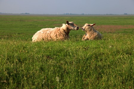 sheep couple. Mother sheep and lamb are lying on a big green fresh grass meadow and looking to each other photo