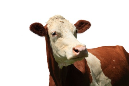 freckled: brown white freckled cow isolated on white background