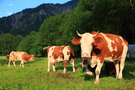 drove: Cow with horns on meadow. Natural animals, drove or, flock, in the mountains of bavaria. moo with horn