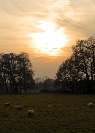 Sunset and Sheeps Stock Photo - 11363053