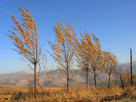 uzbekistan: Trees in the field under srong wind. Uzbekistan, fall 2007 Stock Photo