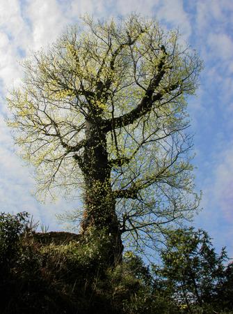 elongacion: Altos árboles Foto de archivo