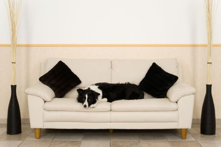 A dog on couch in the livingroom