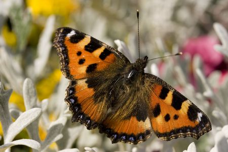 admiral: beautiful butterfly (admiral) Stock Photo