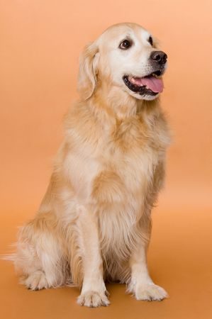 dog (golden retriever) photo