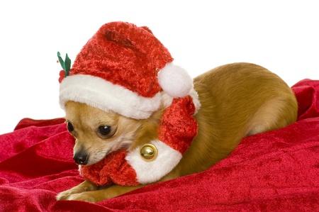 dog (chihuahua) photo