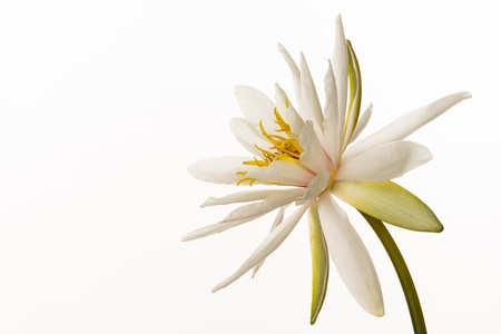 nenuphar: water lily Stock Photo