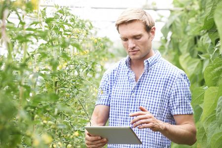 Granjero en invernadero Comprobación de plantas de tomate que usa la tableta digital