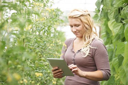 invernadero: Campesino En efecto invernadero Comprobaci�n de plantas de tomate que usa la tablilla digital Foto de archivo
