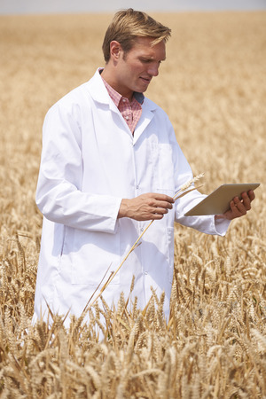 genetically modified crops: Scientist With Digital Tablet Examining Wheat Crop In Field Stock Photo