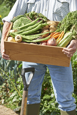 allotment: Close Up Of Man On Allotment With Box Of Home Grown Vegetables Stock Photo