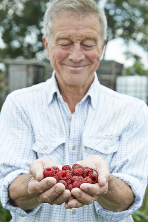 allotment: Senior Man On Allotment Holding Freshly Picked Raspberries