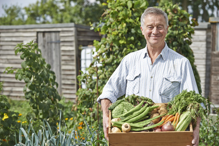 allotment: Senior Man On Allotment With Box Of Home Grown Vegetables Stock Photo