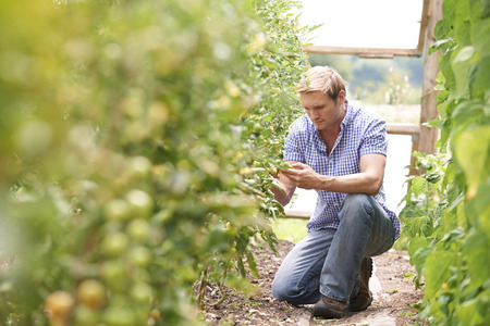 produces: Farmer Checking Tomato Plants In Greenhouse Stock Photo
