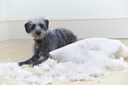 animals and pets: Badly Behaved Dog Ripping Up Cushion At Home