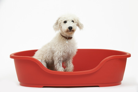 lurcher: Studio Shot Of White Pet Lurcher Sitting In Red Dog Bed
